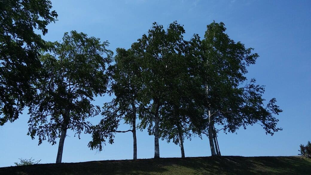 青空に映える3本の白樺の木