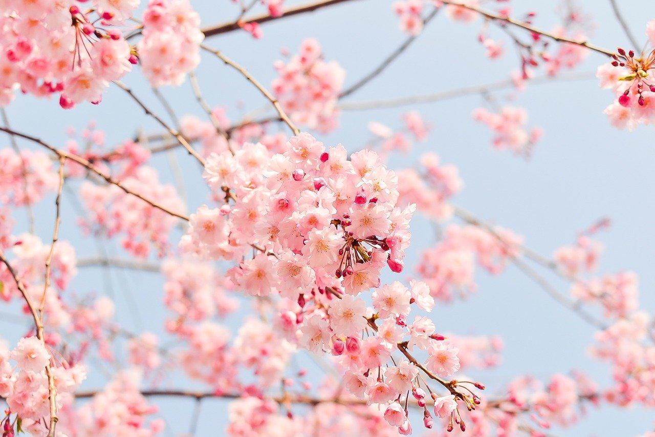 開花したばかりの桜